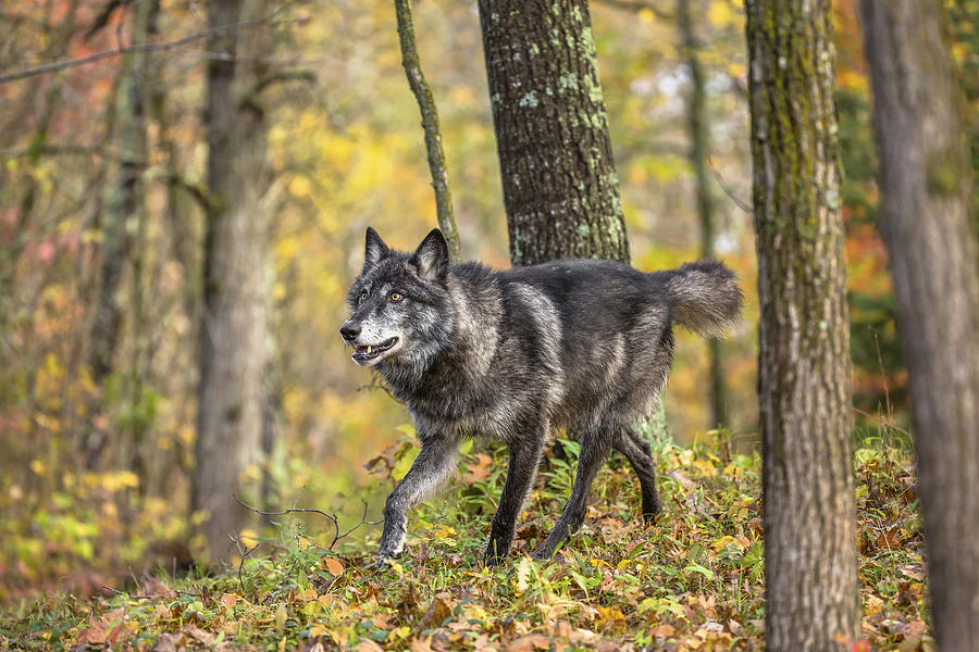 Alone Photograph - Gray Wolf by Linda Arndt