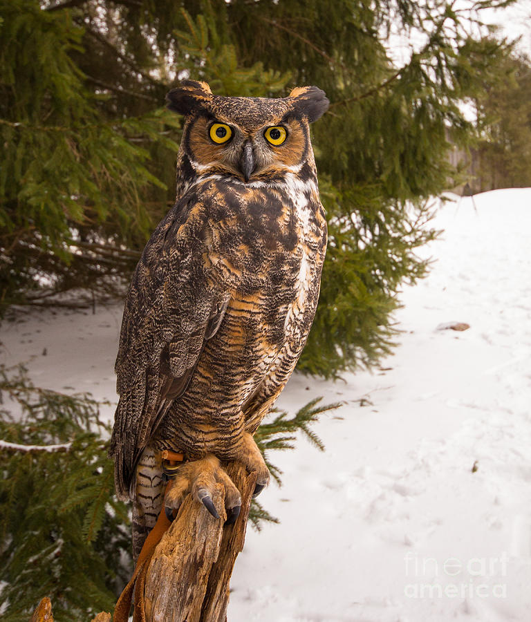 The Look Photograph - Great Horned Owl by Simon Jones