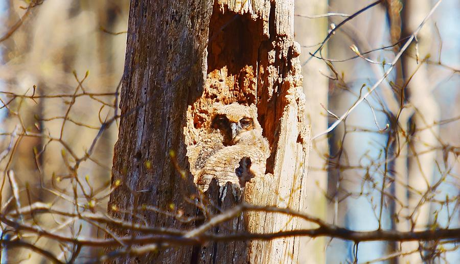 Owl Photograph - Great Horned Owlet by Dave Smith