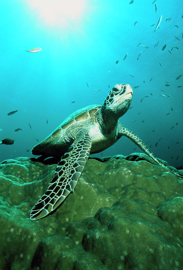 Green Turtle Photograph - Green Turtle by Matthew Oldfield/science Photo Library