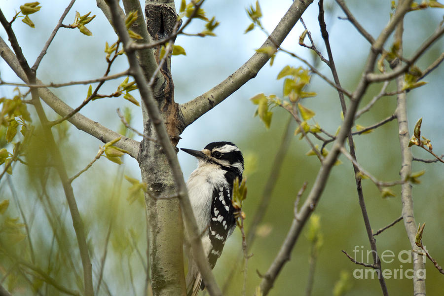 Animal Photograph - Hairy Woodpecker by Linda Freshwaters Arndt