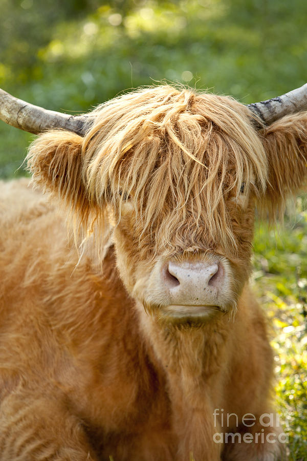 Scottish Photograph - Highland Cow by Brian Jannsen