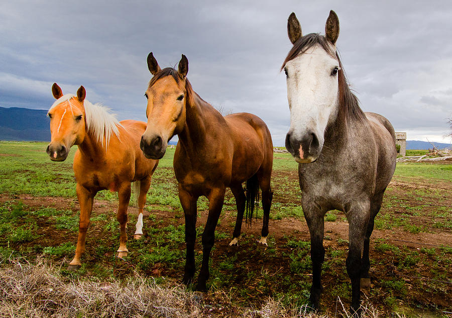Mammal Photograph - 3 Horses by Jean Noren
