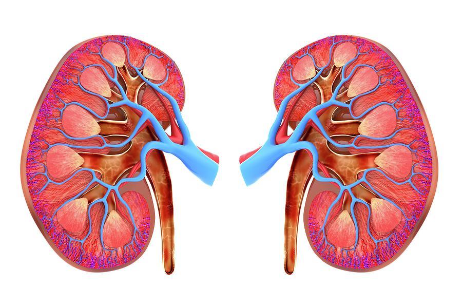 Human Kidneys Photograph By Alfred Pasieka