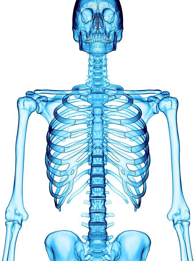 Human Skeletal Structure Photograph By Sebastian Kaulitzkiscience
