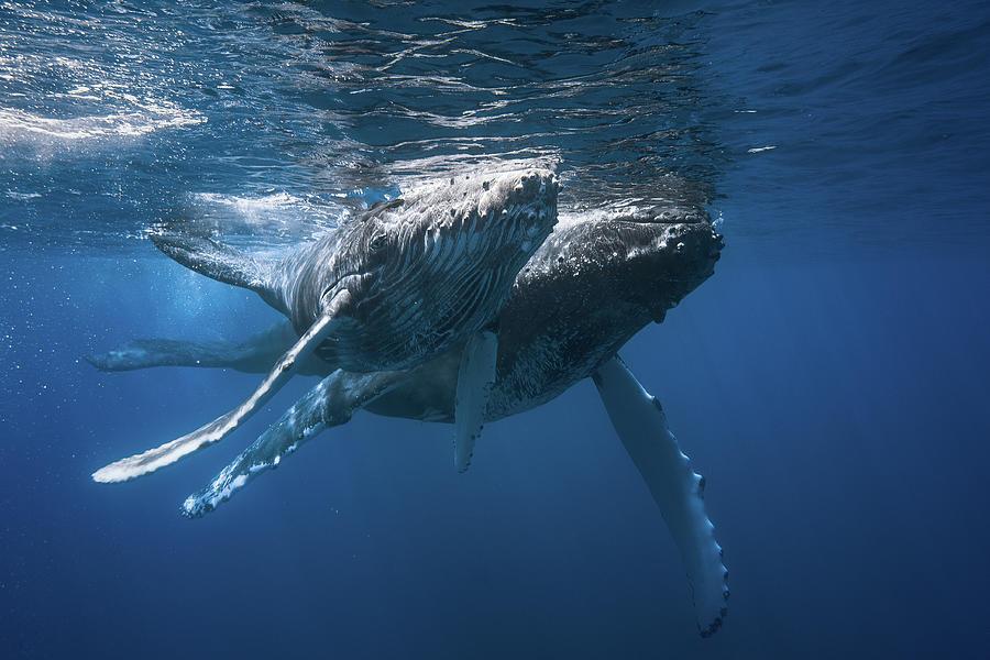 Whale Photograph - Humpback Whale by Barathieu Gabriel
