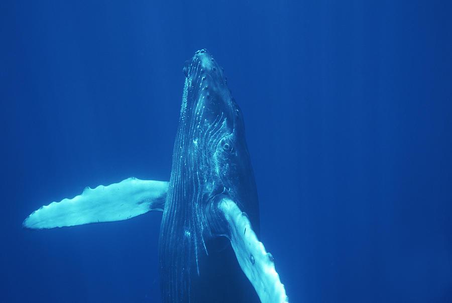 Humpback Whale Curious Calf Maui Hawaii Photograph by Flip Nicklin