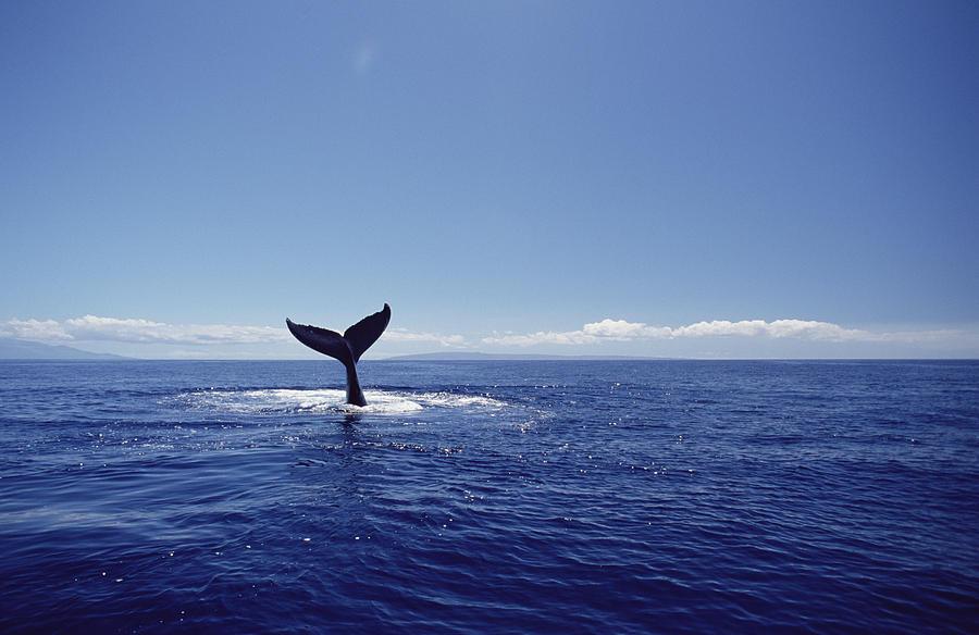 Humpback Whale Tail Lob Maui Hawaii Photograph by Flip Nicklin
