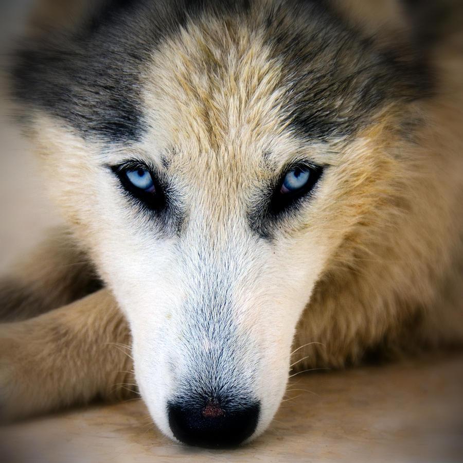 Adorable Photograph - Husky  by Stelios Kleanthous