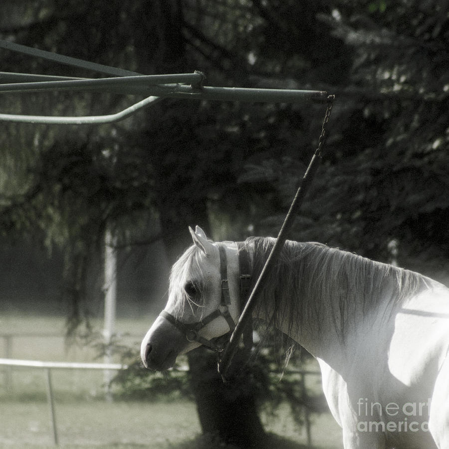 Horse Photograph - In The Captivity by Angel Ciesniarska