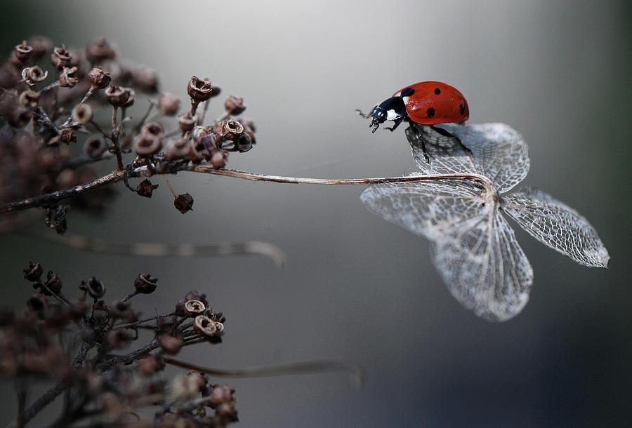 Ladybird Photograph - Ladybird On Hydrangea. by Ellen Van Deelen