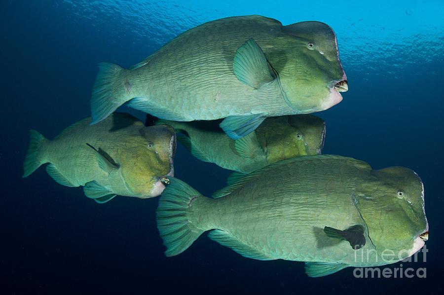 Bali Photograph - Large School Of Bumphead Parrotfish by Steve Jones