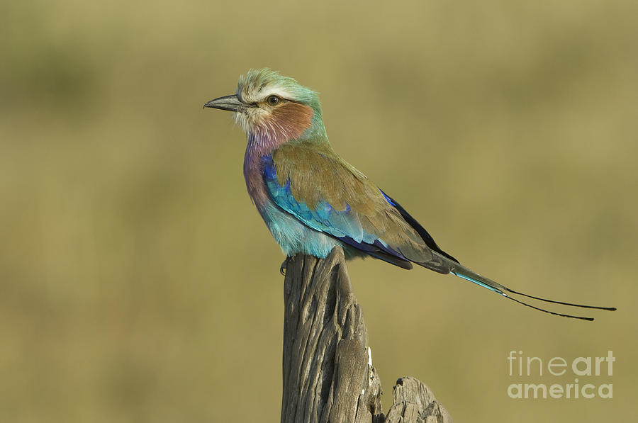 Animal Photograph - Lilac-breasted Roller by John Shaw