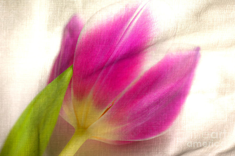 Tulips Photograph - Linen Tulip by Bobbi Feasel