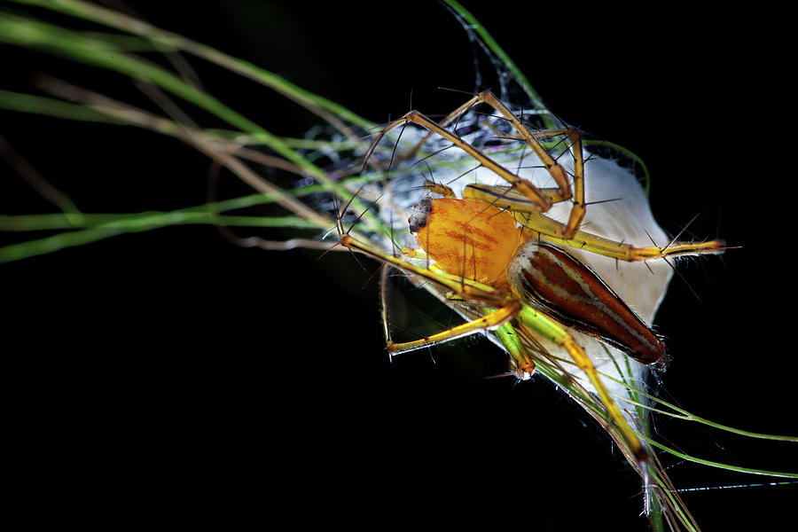 Black Background Photograph - Lynx Spider With Egg Sac by Melvyn Yeo/science Photo Library