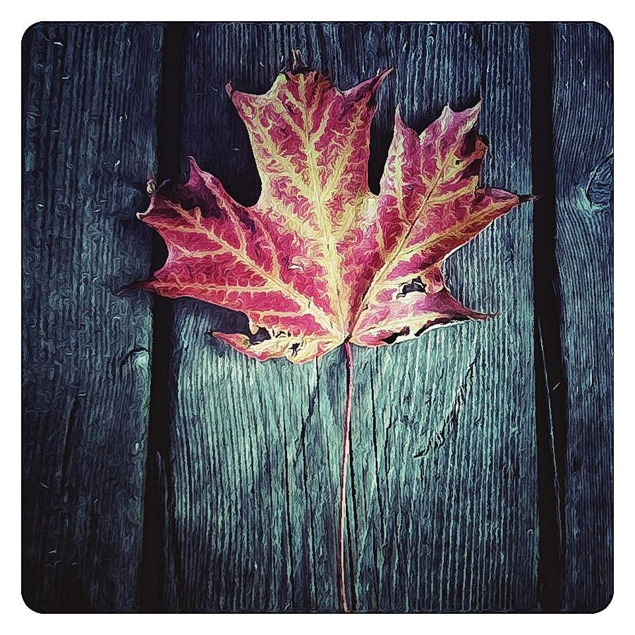 Leaf Photograph - Maple Leaf by Natasha Marco