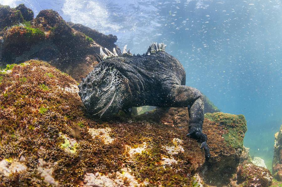 Marine Iguana Feeding On Algae Punta Photograph by Tui De Roy