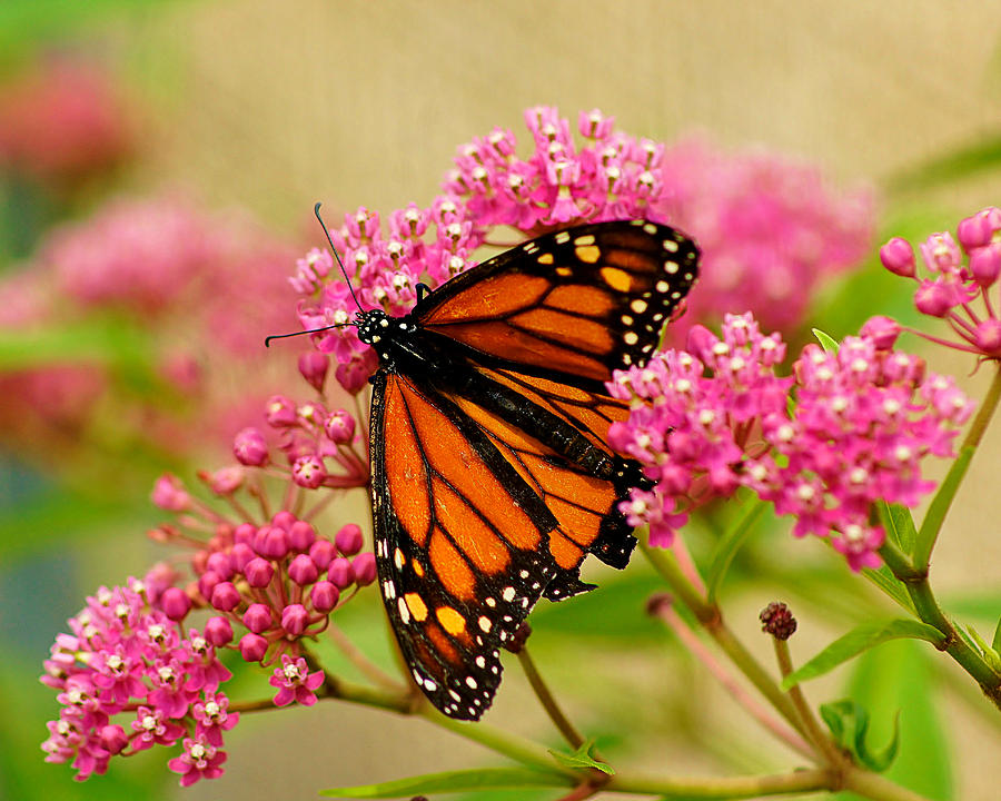 Monarch Photograph - Monarch Butterfly by Carol Toepke