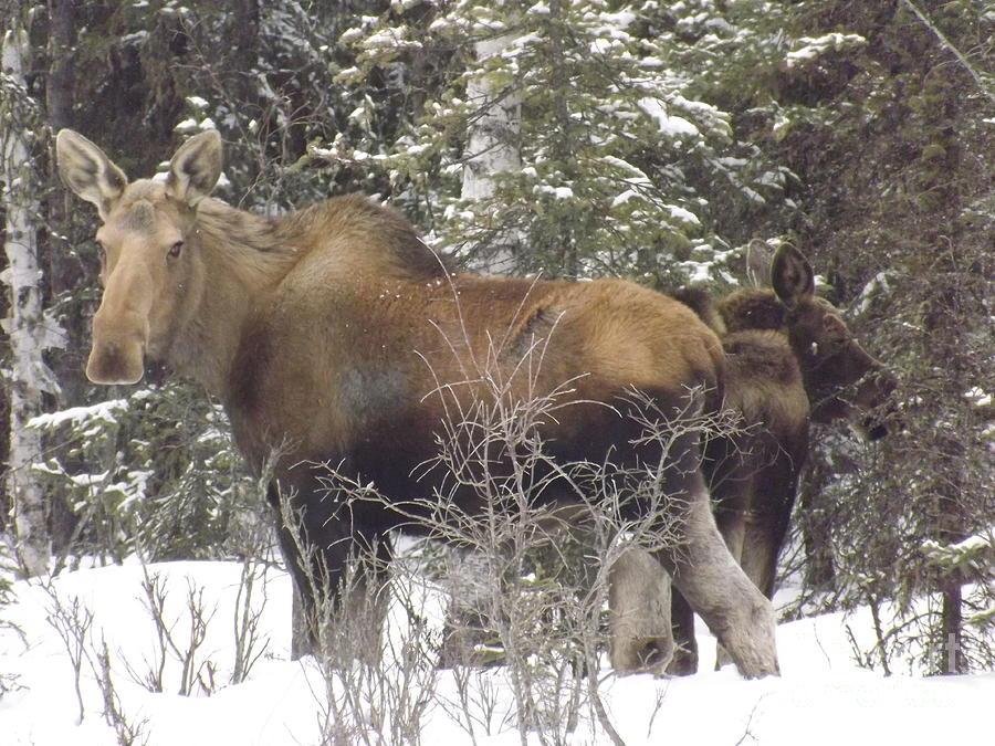 Moose Photograph - Moose by Jennifer Kimberly