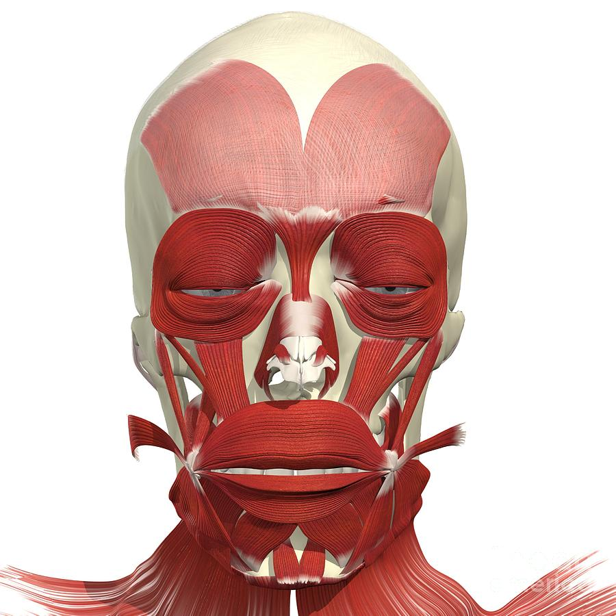Muscles Of Facial Expression Photograph By Medical Images Universal