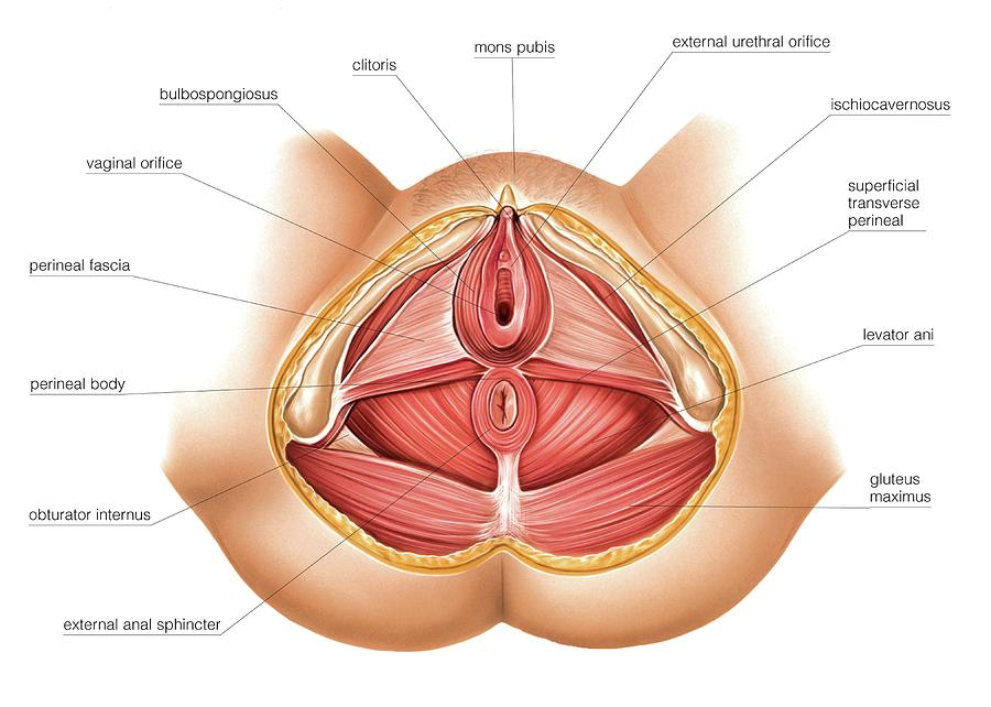 Muscles Of Perineum Photograph By Asklepios Medical Atlas