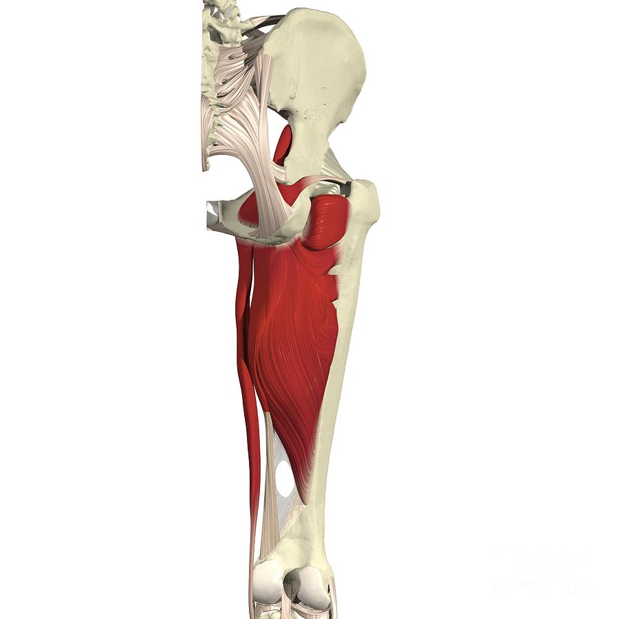 Muscles Of The Hip And Thigh Photograph By Medical Images Universal