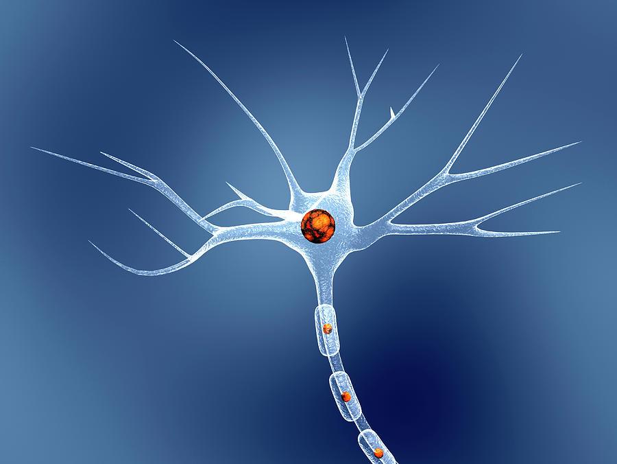 Nerve Cell Photograph - Nerve Cell by Pasieka