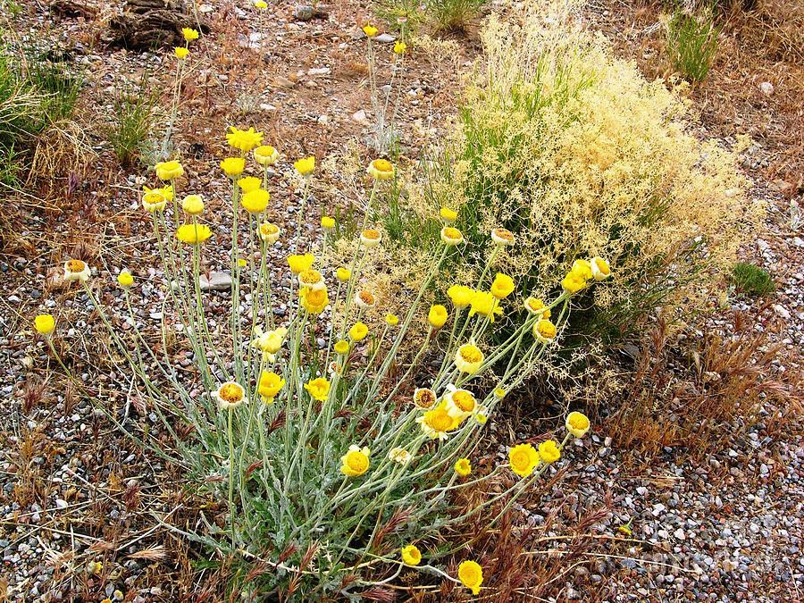 Nevada desert flowers photograph by ted pollard usa photograph nevada desert flowers by ted pollard mightylinksfo