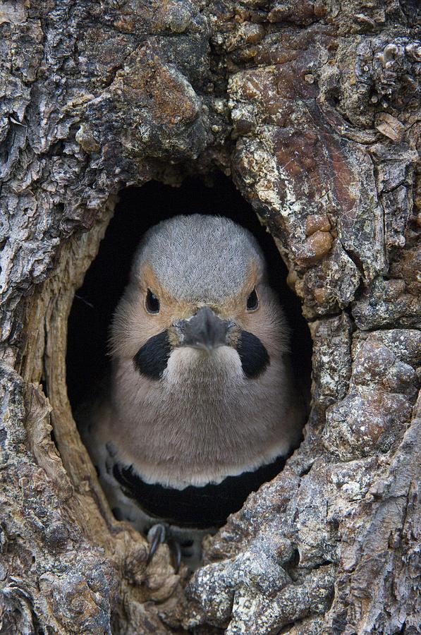 Northern Flicker In Nest Cavity Alaska Photograph by Michael Quinton
