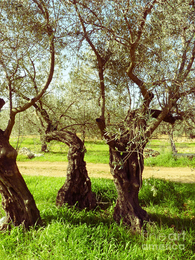 Olive Trees Photograph - 3 Olivetrees In Galil by Ilan Ronn