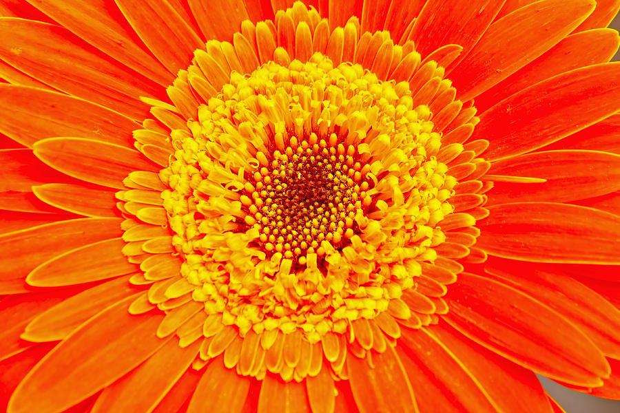 Beautiful Photograph - Orange Gerber by Borislav Marinic