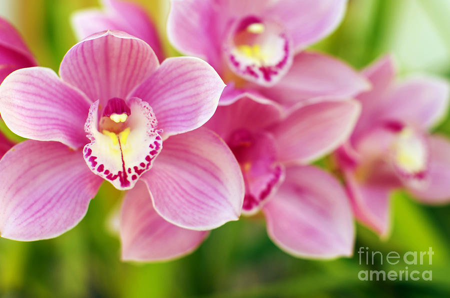 Abstract Photograph - Orchids by Carlos Caetano