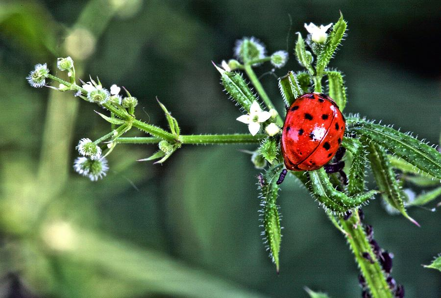 Ladybug Photograph - Out On A Limb by JC Findley