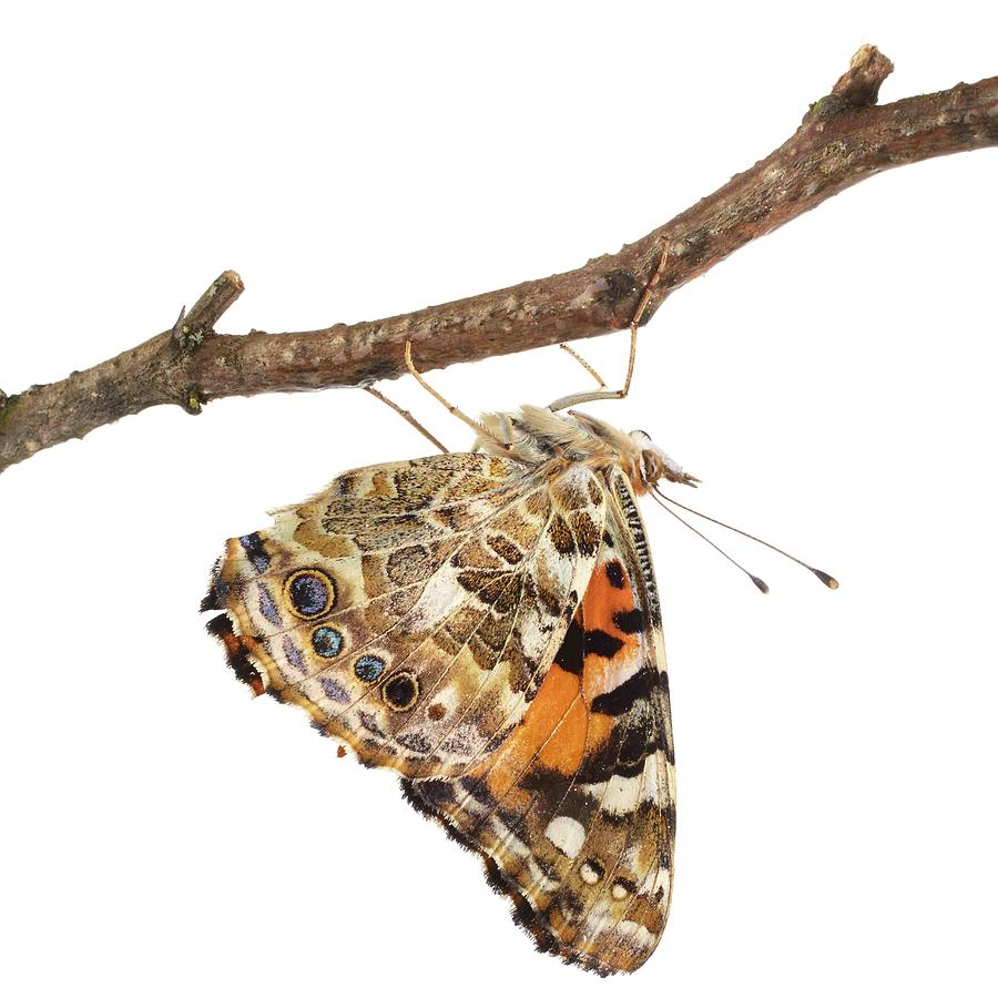 Indoors Photograph - Painted Lady Butterfly by Science Photo Library