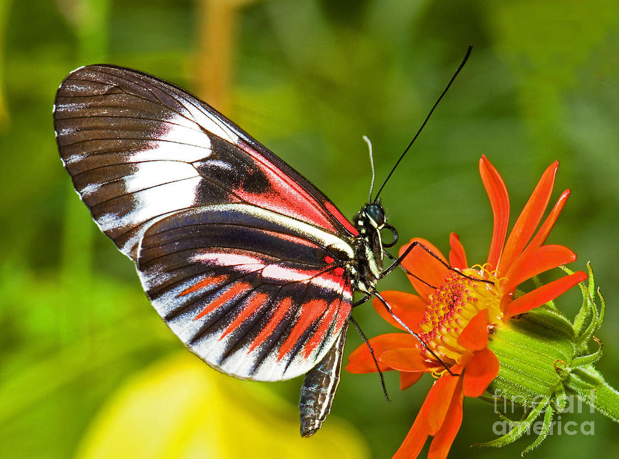 Red And Black Butterfly Photograph - Piano Key Butterfly by Millard H Sharp