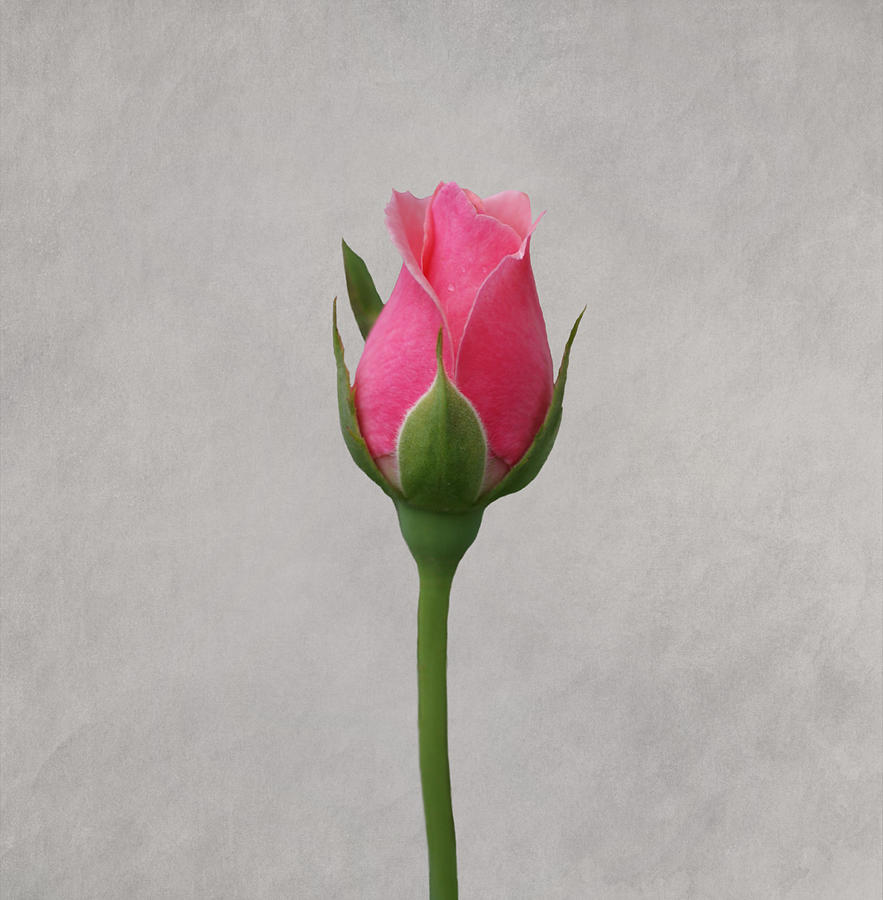 Pink Rosebud Photograph by Sandy Keeton