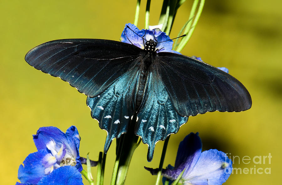 Pipevine Swallowtail Butterfly Photograph - Pipevine Swallowtail Butterfly by Millard H. Sharp
