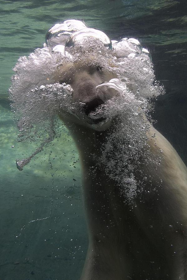 Polar Bear Swimming Underwater Photograph by San Diego Zoo