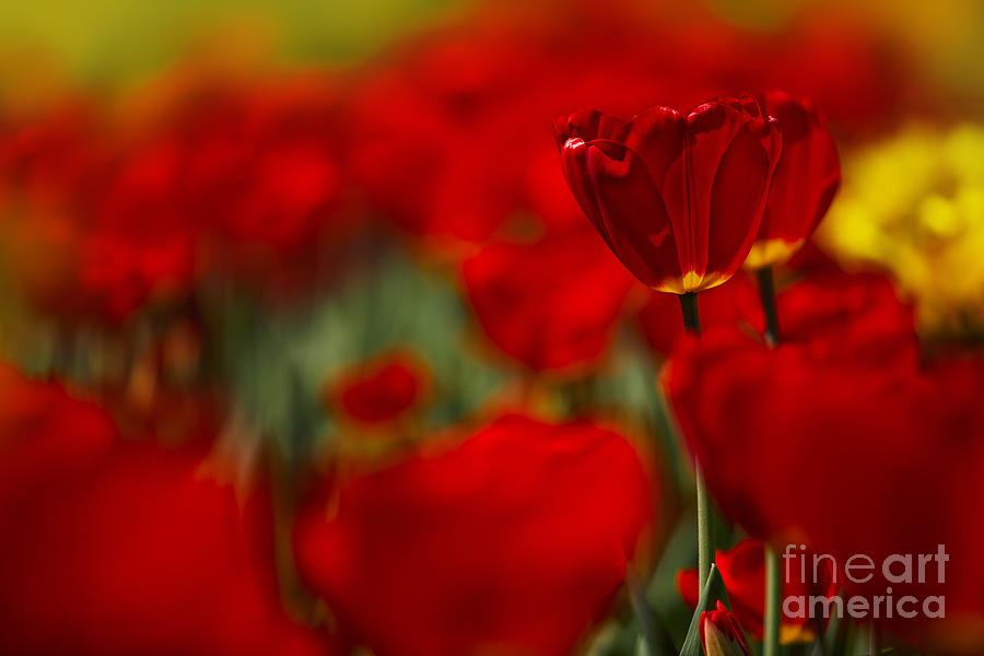 Tulip Photograph - Red And Yellow Tulips by Nailia Schwarz