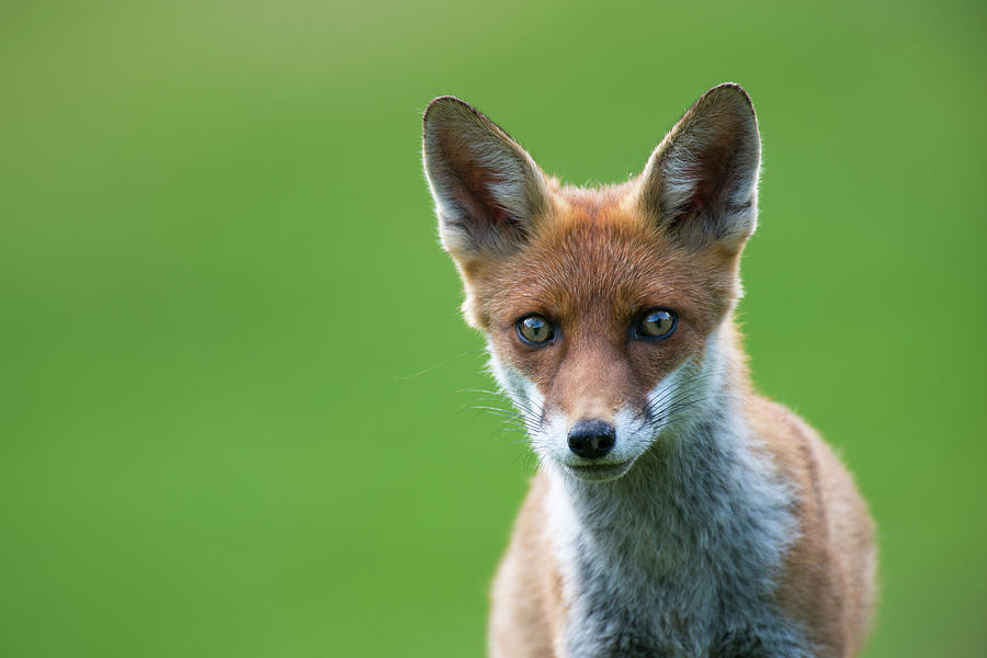 Red Fox Cub Portrait Photograph by James Warwick