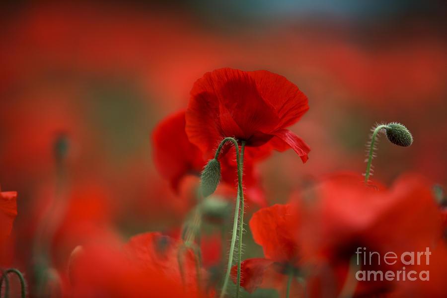Poppy Photograph - Red by Nailia Schwarz