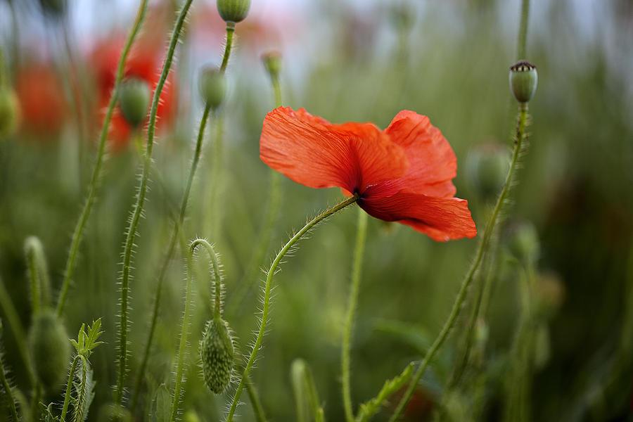 Poppy Photograph - Red Poppy Flowers by Nailia Schwarz