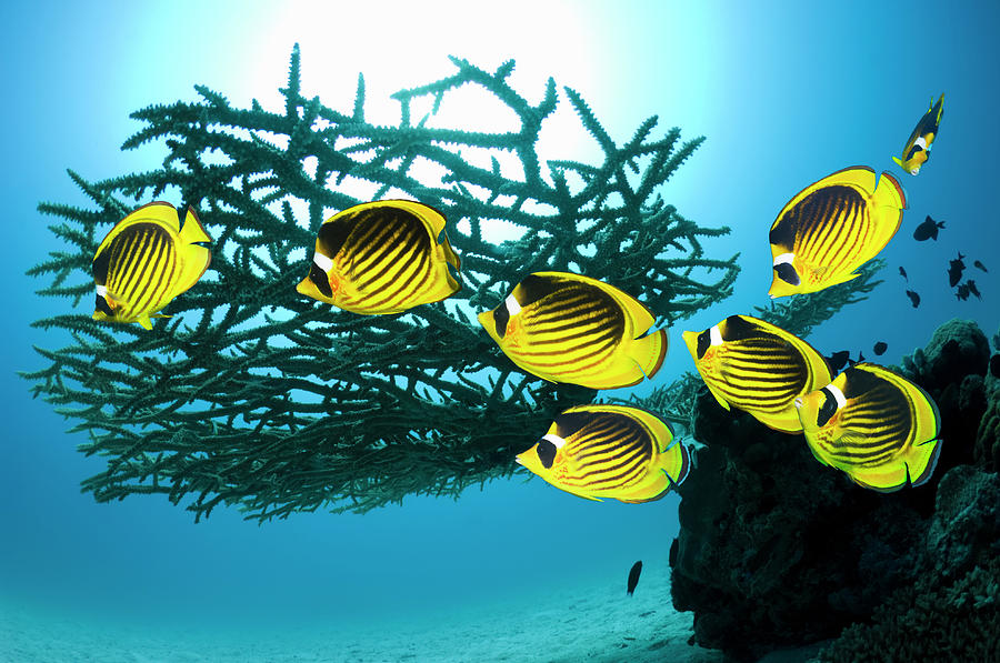 Red Sea Raccoon Butterflyfish Photograph by Georgette Douwma