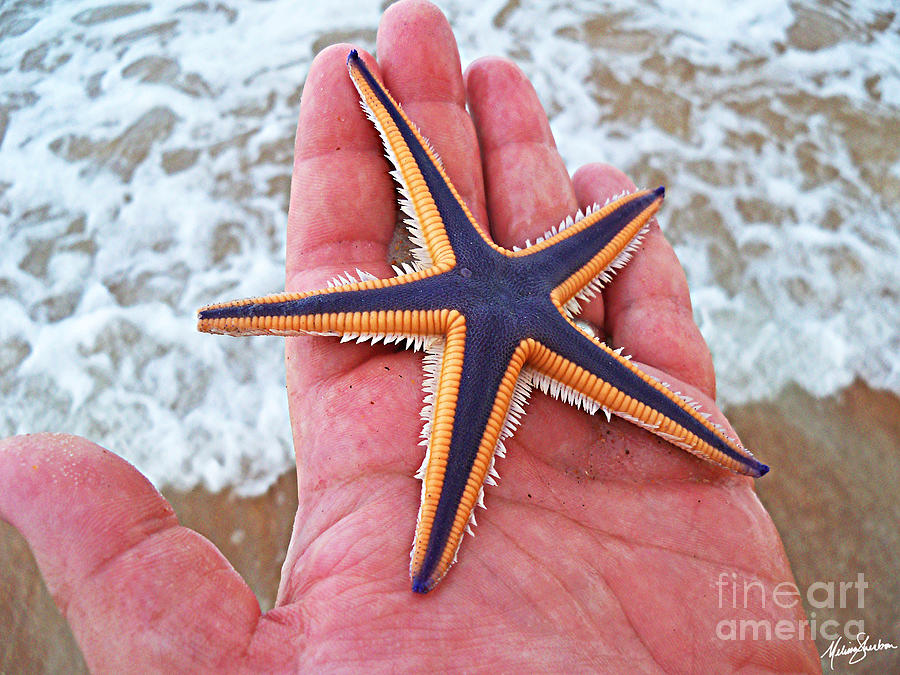 Star Photograph - Royal Starfish - Ormond Beach Florida by Melissa Sherbon