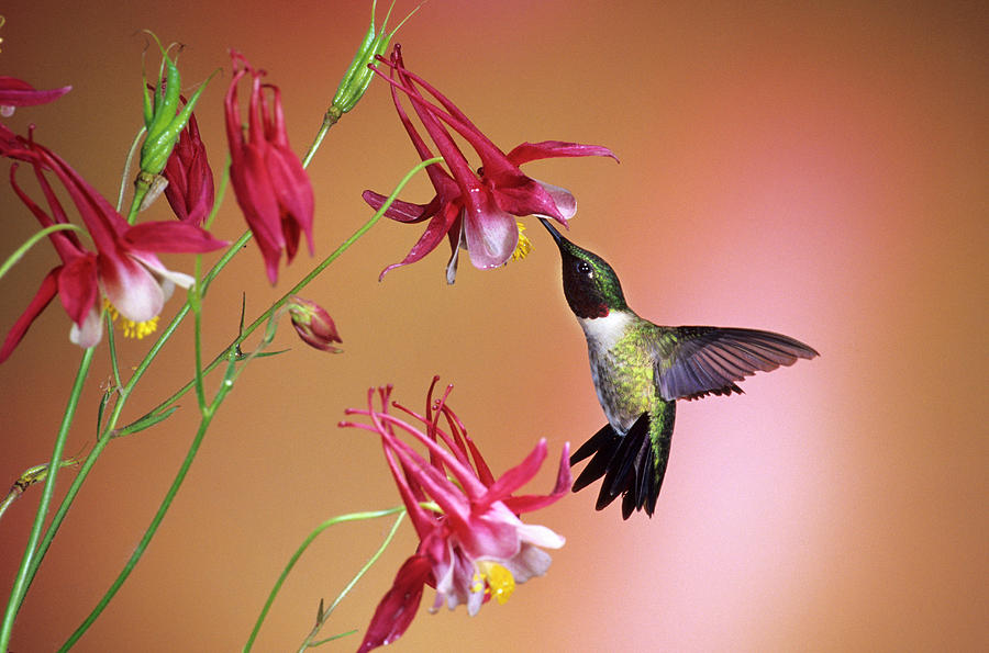 Archilochus Colubris Photograph - Ruby-throated Hummingbird (archilochus by Richard and Susan Day