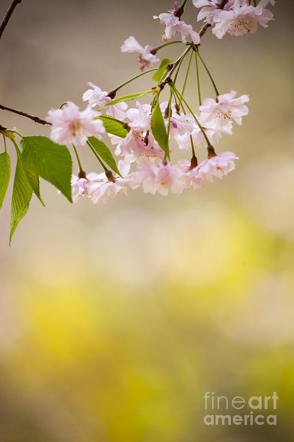 Sakura Photograph - Sakura by Tad Kanazaki
