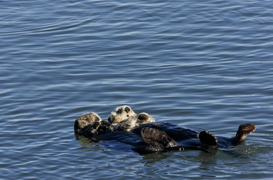 Sea Otters Photograph - Sea Otters by Bob Gibbons/science Photo Library
