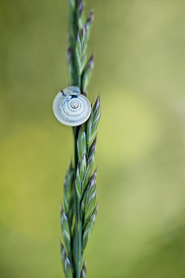 Snail On Grass Photograph