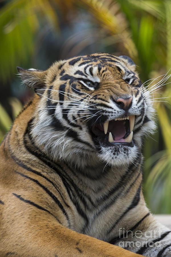 Sumatran Tiger Photograph by San Diego Zoo