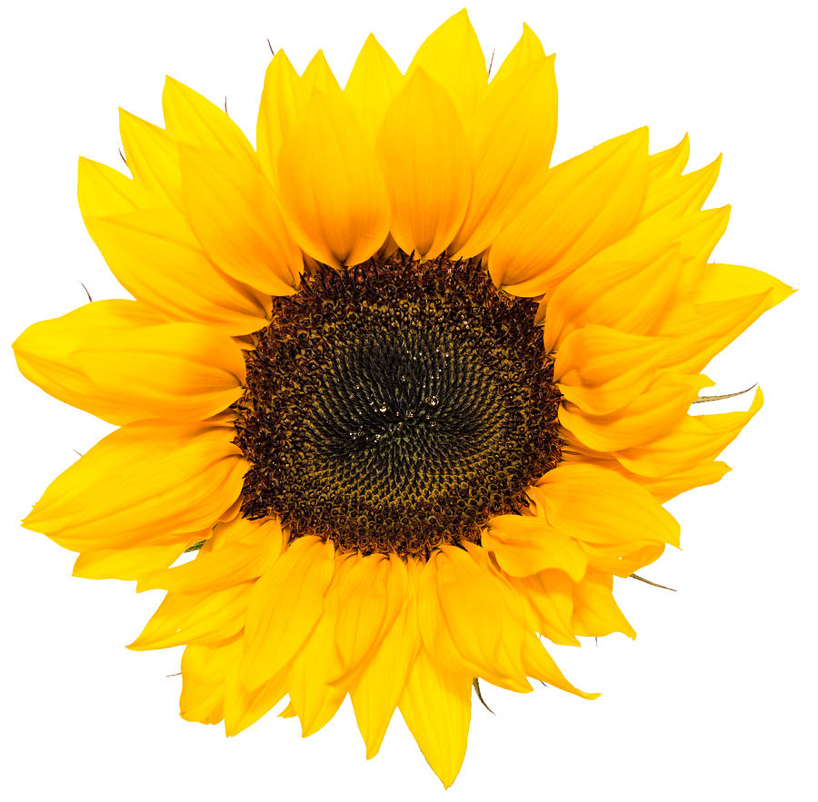 Unleash Your Sunflower Power! | Judith Belmont